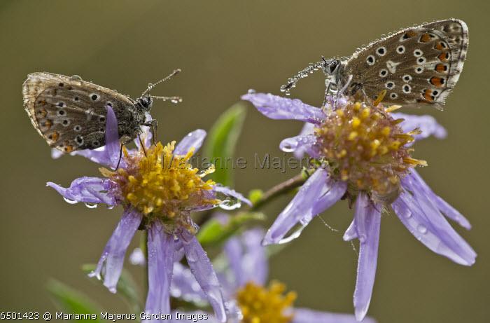 Common Blue butterflies, Polyommatus icarus, on European Michaelmas Daisy