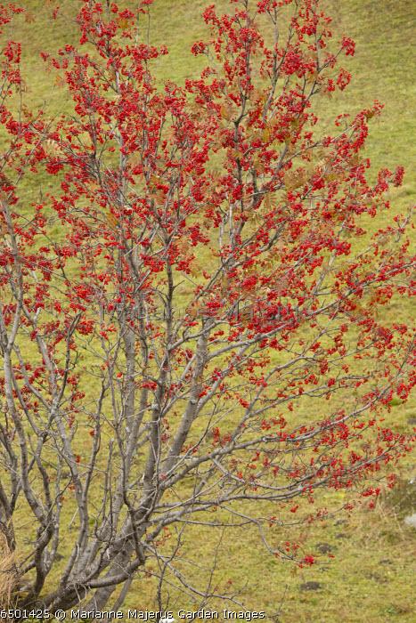 Sorbus aucuparia, in fruit in autumn