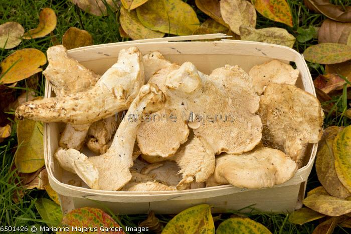 Hydnum repandum harvested in wooden box