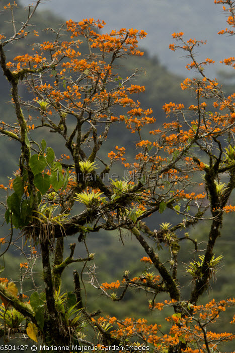 Mountain immortelle, Erythrina poeppigiana tree in flower, covered with epiphytes; Trinidad