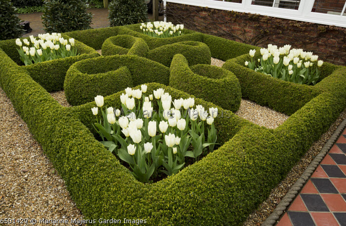 Knot garden, with box hedges and white tulips in front garden