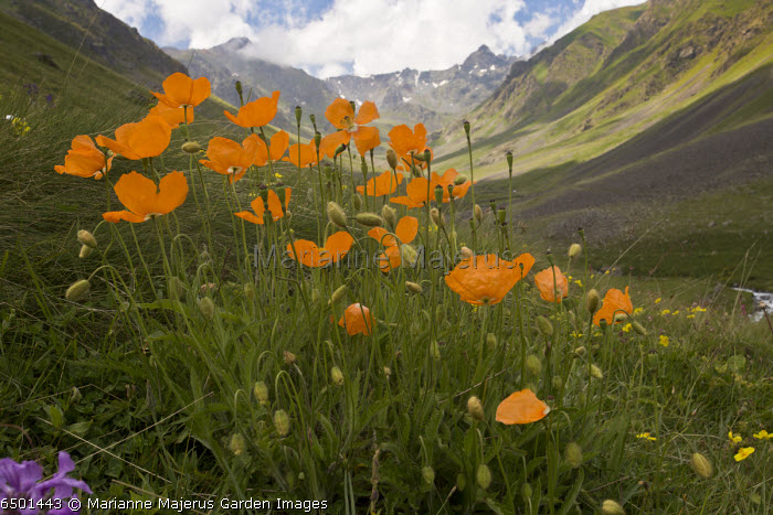 Papaver lateritium Olgunlar valley, Pontic Alps, north-east Turkey