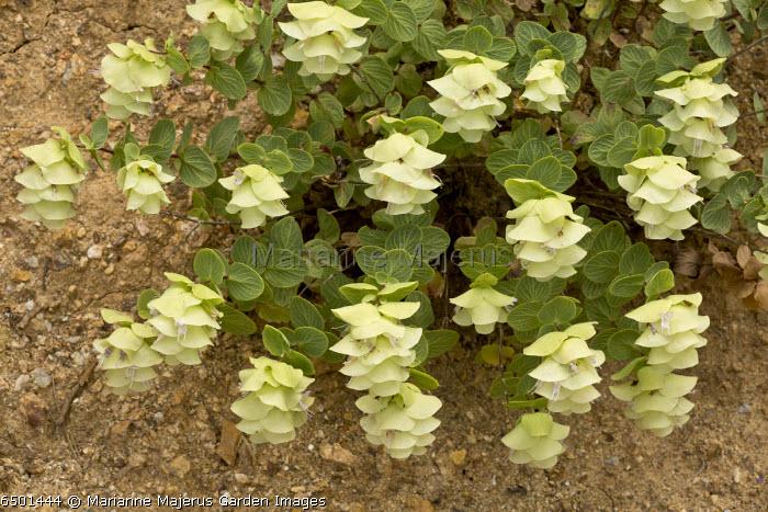 Origanum rotundifolium