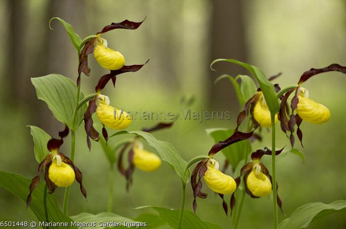 Lady's Slipper Orchid, Cypripedium calceolus
