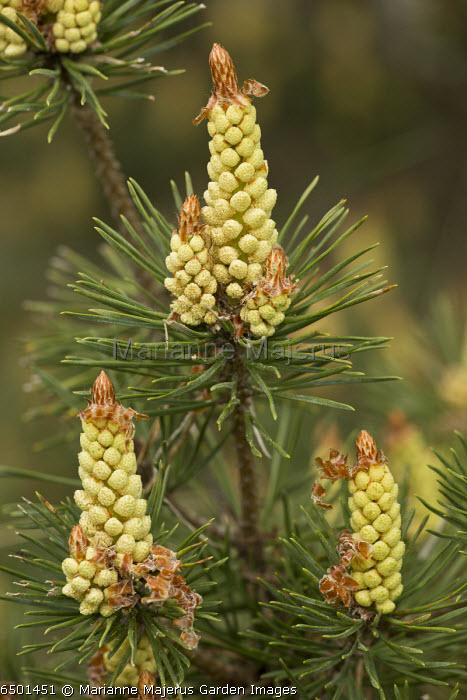 Pinus sylvestris, male flowers in spring