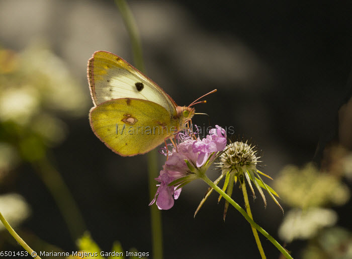 Berger's Clouded Yellow, Colias alfacariensis on scabious, against the light. France.