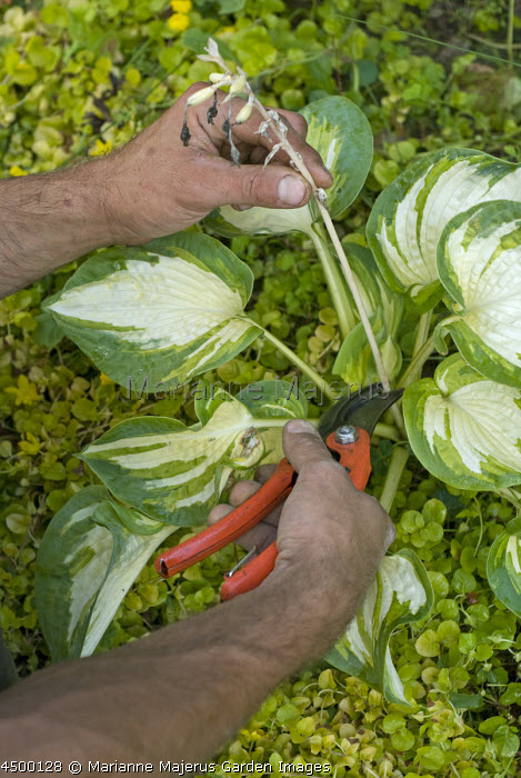 Man removing old flower stem from hosta with secateurs