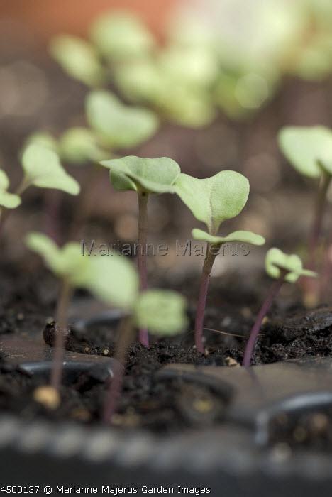 Seedlings in modular seed tray