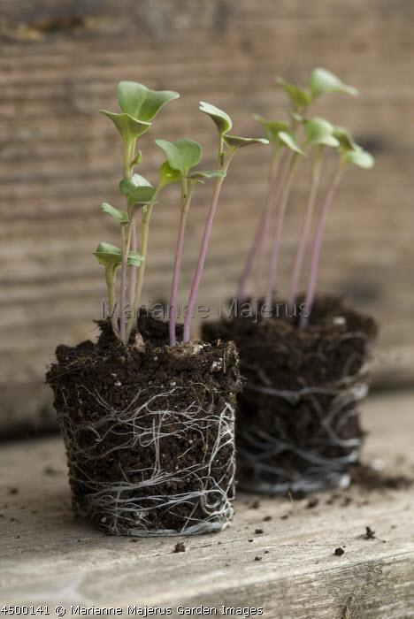 Plug plant seedling, module