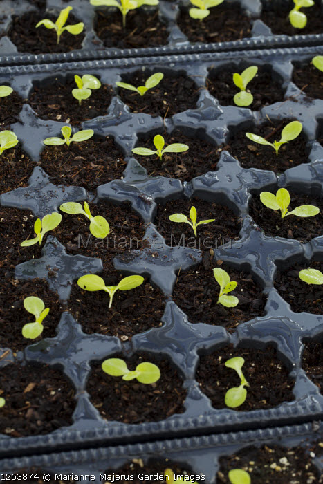 Lettuce 'All Year Round' seedlings in seed trays, plug plants