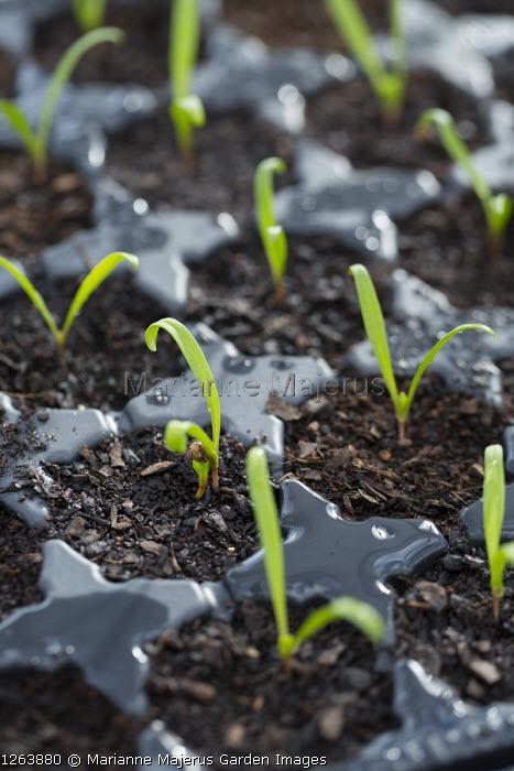 Spinach 'Matador' seedlings in seed trays, plug plants