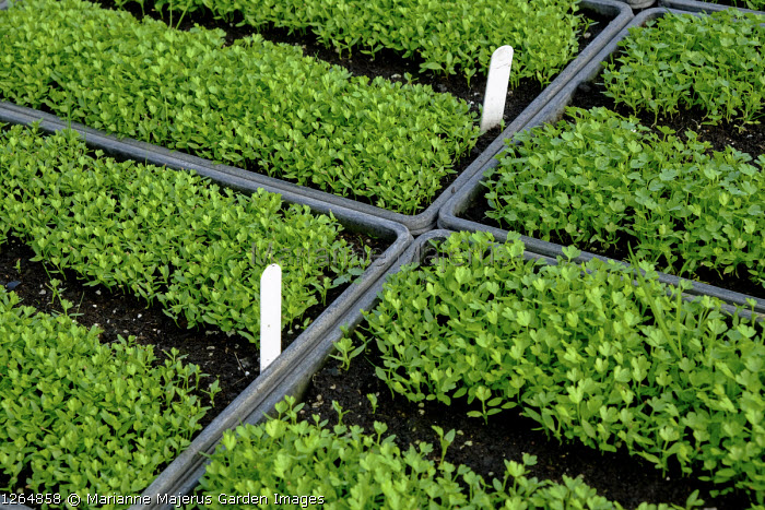 Leaf Celery seedlings in seed trays, labels