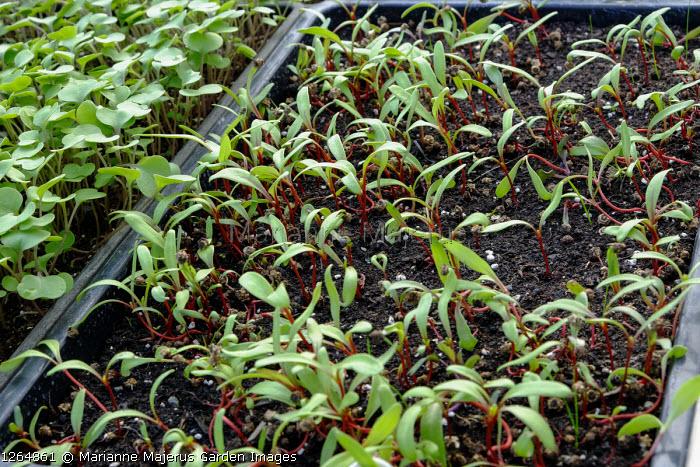 Beta vulgaris 'Ruby Chard' seedlings in seed tray