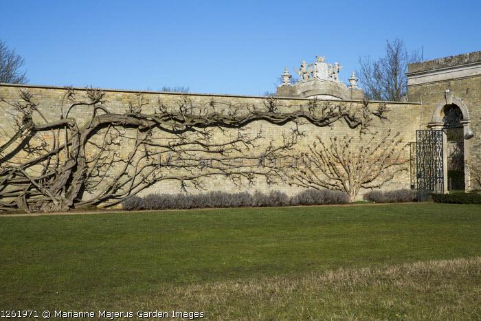 Wisteria on stone wall