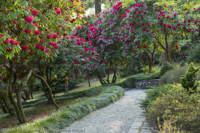 Rhododendron grove, Ophiopogon japonicus edging gravel path