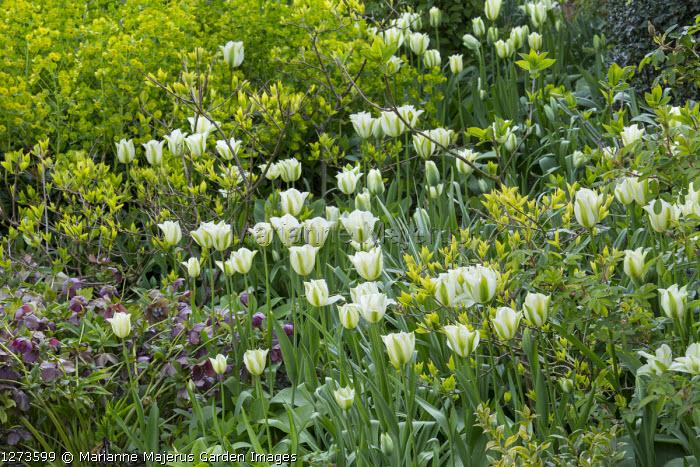Tulipa 'Spring Green', Helleborus x hybridus in border