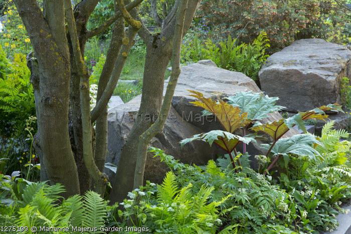 Rheum palmatum 'Hadspen Crimson', large rocks, symphytum, ferns