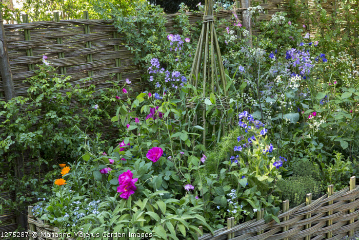 Rosa gallica var. officinalis, herbs and obelisk in woven willow-edged raised bed, willow fence, fennel, sage, marigolds, borage, thyme