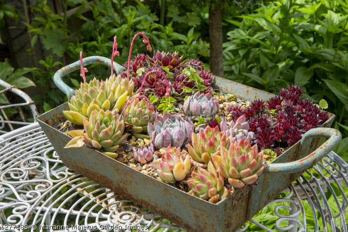 Sempervivums and succulents in metal container on table