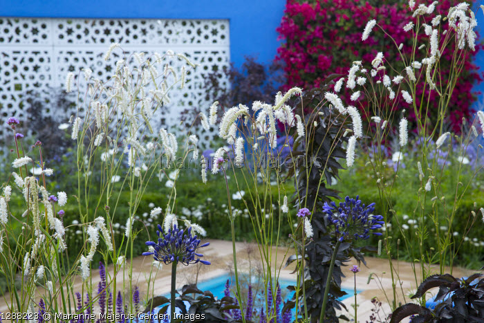Sanguisorba tenuifolia var. alba in mediterranean-style garden, white aluminium panel in blue painted wall with living green bougainvillea walls, Agapanthus 'Black Buddhist'