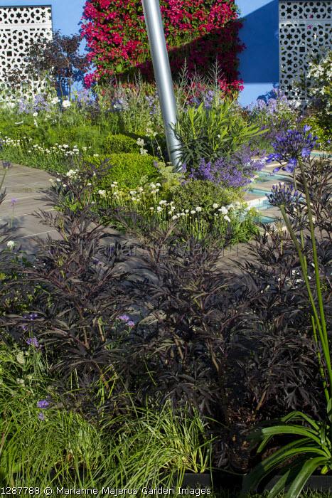 Sambucus nigra f. porphyrophylla 'Eva' in mediterranean-style garden, Bougainvillea 'Barbara Karst' wall, decking edged with Armeria pseudarmeria 'Ballerina White'