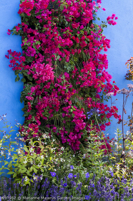 Bougainvillea 'Barbara Karst' on living green vertical wall, blue painted wall, Gillenia trifoliata