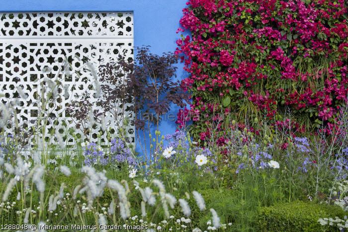 Mediterranean-style garden, white aluminium panel in blue painted wall with living green Bougainvillea 'Barbara Karst' wall, Sanguisorba tenuifolia var. alba, Cosmos bipinnatus 'Purity', Perovskia 'Blue Spire', Campanula lactiflora 'Prichard's Variety', Cotinus coggygria 'Royal Purple'