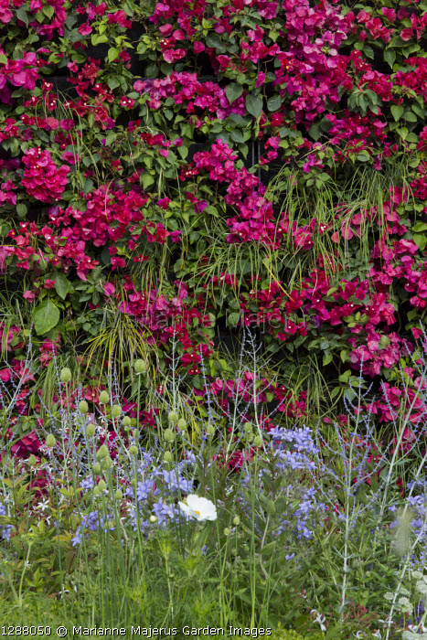 Bougainvillea 'Barbara Karst' on living green vertical wall, Perovskia 'Blue Spire', Campanula lactiflora 'Prichard's Variety'