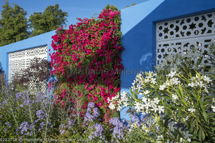 Mediterranean-style garden, white aluminium panels in blue painted wall with living green Bougainvillea 'Barbara Karst' wall, Nerium oleander