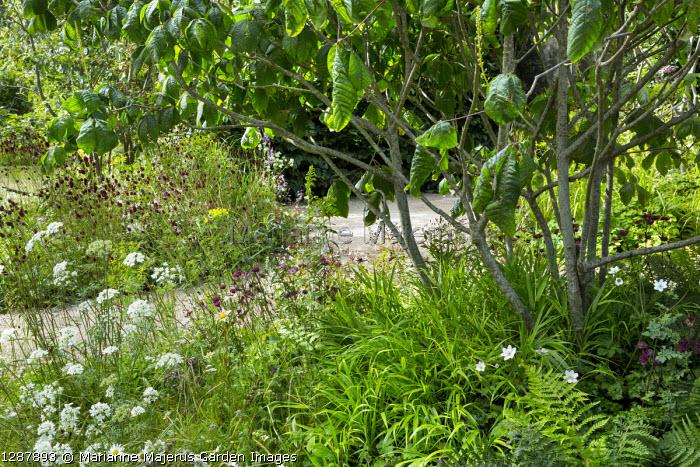 Hakonechloa macra, Ammi visnaga and Sanguisorba 'Chocolate Tip' under Aesculus parviflora