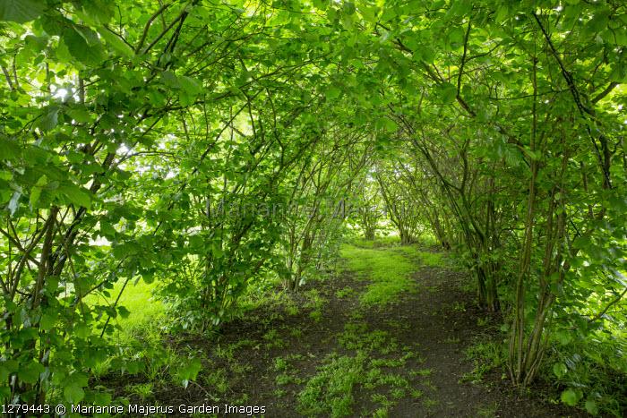 Path through cobnut tunnel