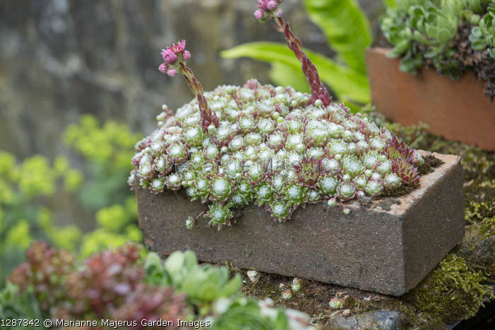 Brick planted with sempervivums