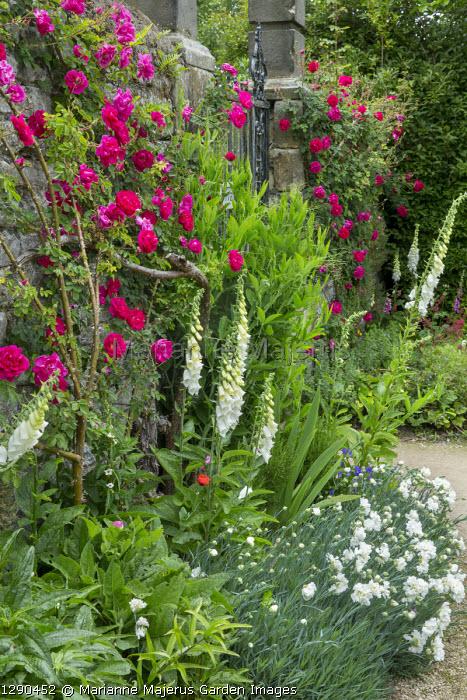 Rosa 'Cerise Bouquet', Dianthus 'Mrs Sinkins', Digitalis purpurea f. albiflora