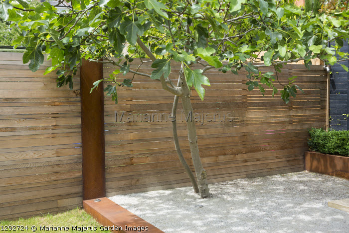 Fig tree in Cedec gravel terrace, contemporary cedar fence with Cor-Ten steel