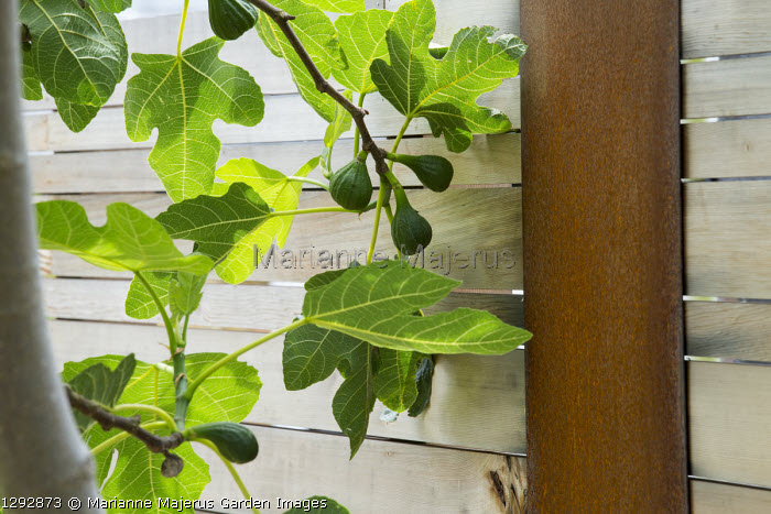 Fig tree against contemporary cedar fence with Cor-Ten steel posts