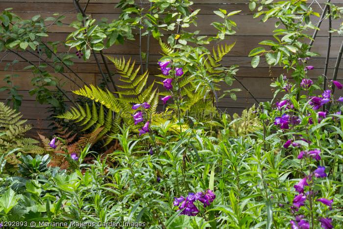 Penstemon 'Raven', Dryopteris erythrosora, Amelanchier lamarckii