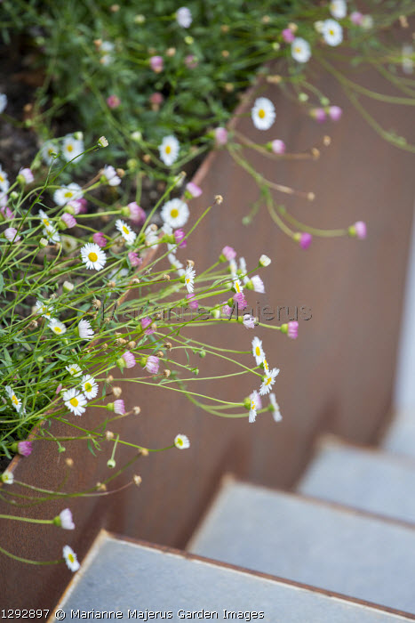 Erigeron karvinskianus overhanging Cor-Ten steel steps