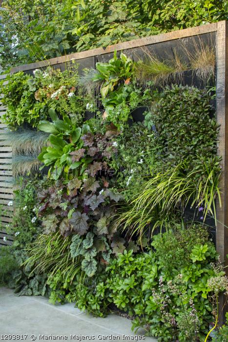 Living green wall in contemporary town garden