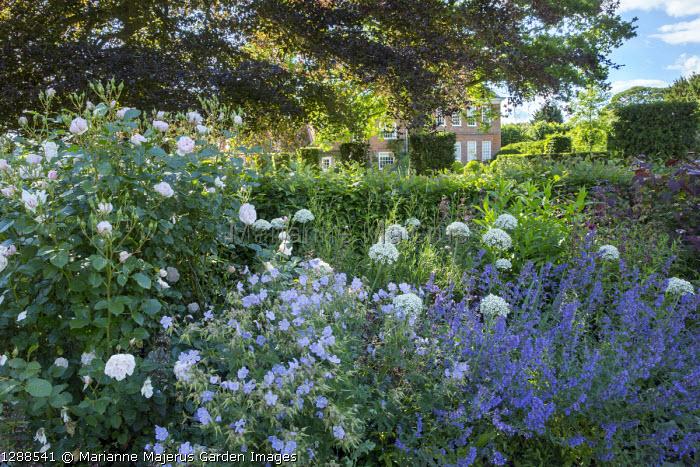 Roses, Geranium pratense 'Mrs Kendall Clark', Nepeta racemosa 'Walker's Low', Allium nigrum, yew hedge