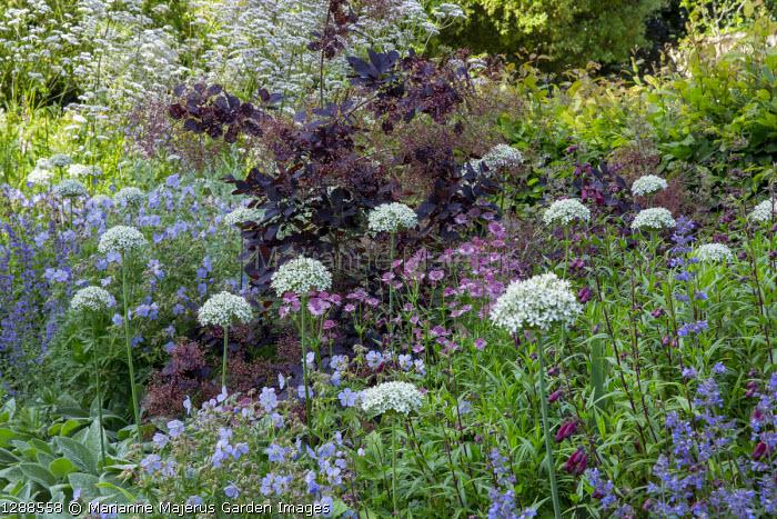 Cotinus coggygria 'Royal Purple', Allium nigrum, Geranium pratense 'Mrs Kendall Clark', Astrantia 'Roma', penstemon