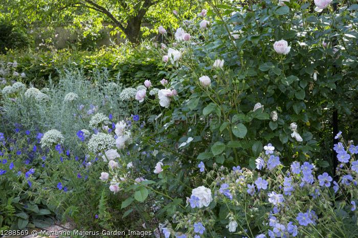 Roses, Allium nigrum, Geranium pratense 'Mrs Kendall Clark', Artemisia absinthium 'Lambrook Silver'