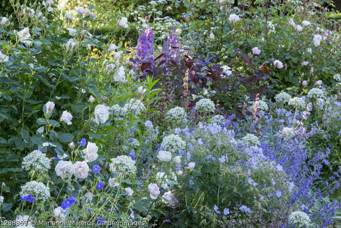 Perennial border, roses, Geranium pratense 'Mrs Kendall Clark', Allium nigrum