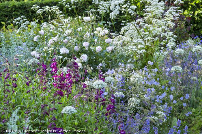 Perennial border, roses, penstemon, Geranium pratense 'Mrs Kendall Clark', Allium nigrum
