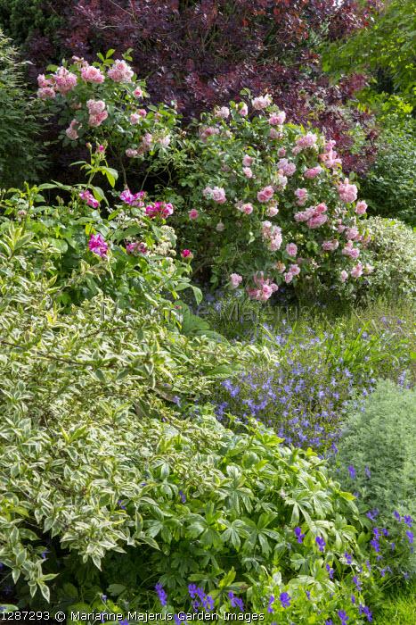 Rosa gallica 'Versicolor', cotinus, Campanula poscharskyana