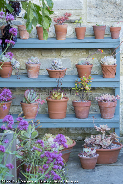Collection of succulents in terracotta pots on tiered shelves, echeveria