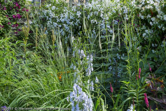 Aconitum 'Stainless Steel', Veronicastrum virginicum 'Album', Molinia caerulea ssp. arundinacea 'Cordoba', Clematis 'Alba Luxurians', Trachelospermum jasminoides