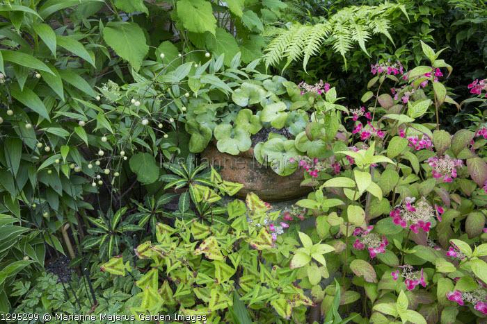 Persicaria runcinata 'Purple Fantasy', Anemonopsis macrophylla, Hydrangea serrata 'Hime-benigaku', hepatica in container