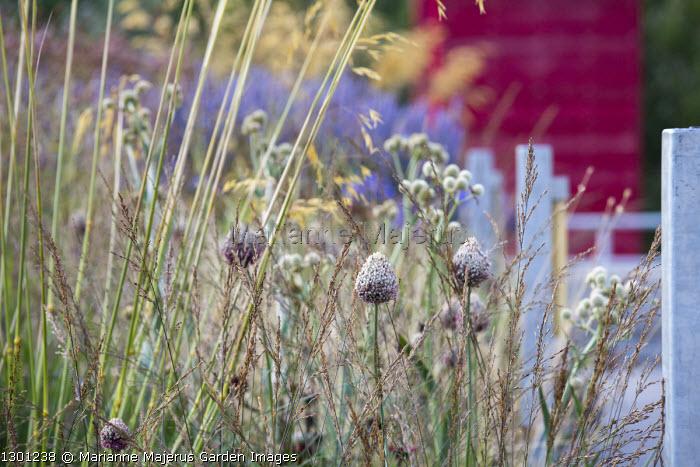 Allium sphaerocephalon, Molinia caerulea subsp. caerulea 'Edith Dudszus', Eryngium yuccifolium