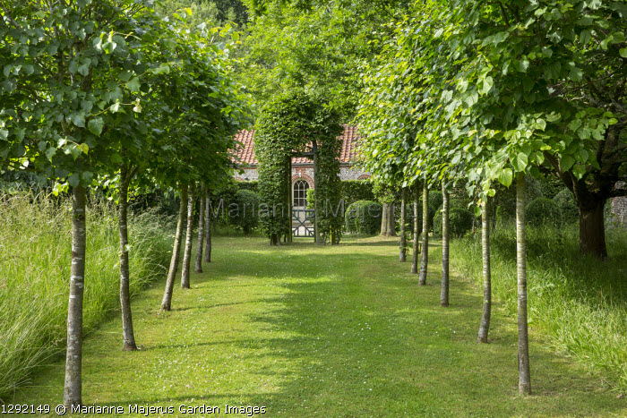 Lime tree (Tilia platyphyllos 'Rubra') avenue leading to gate, hornbeam arch