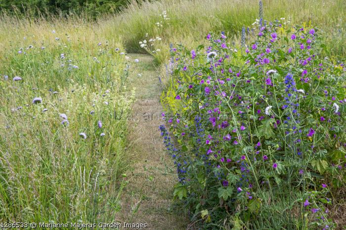 Mown path through wildflower meadow, Echium vulgare, Knautia arvensis, Malva sylvestris